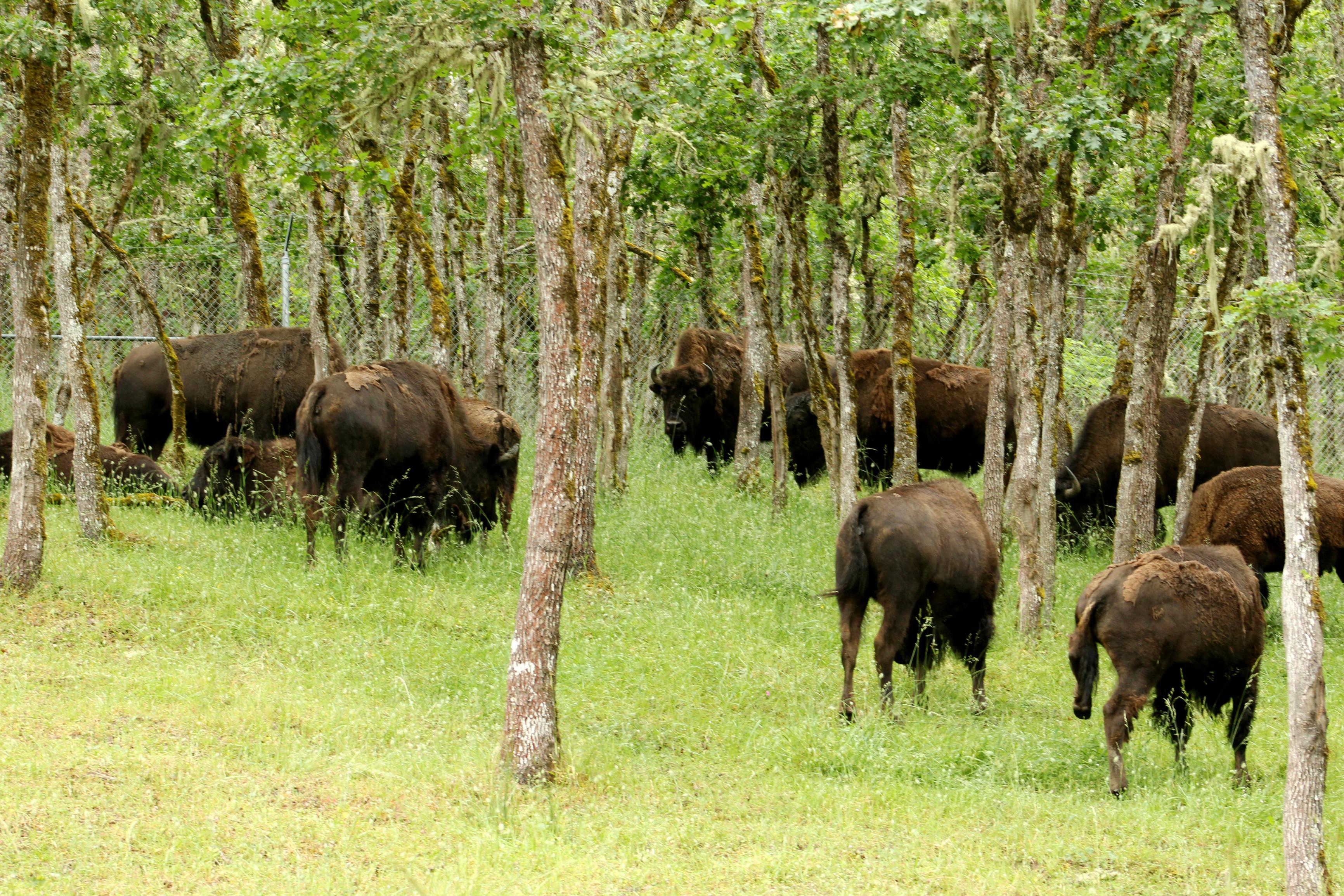 winston safari oregon